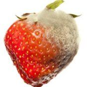 Preventing Mold On Berries, Moldy Strawberry