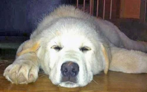 Adopt Dusty In Ct Pup Adopted On Great Pyrenees Dog Pup