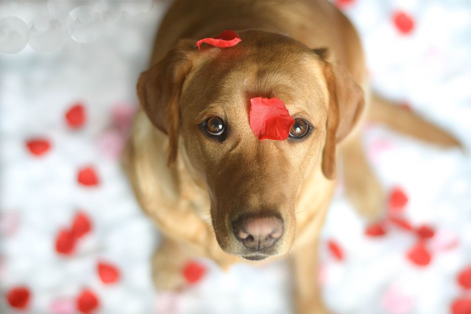 An Absolutely Cute Labrador Model With Chelsea Tyrer Labrador