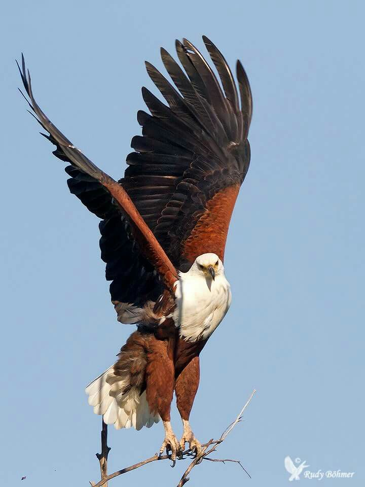 African Fish Eagle Eagle Images Eagle Beautiful Birds