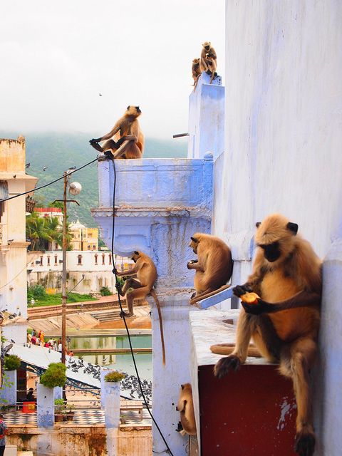 Urban Langurs, India. Need to go play with these guys