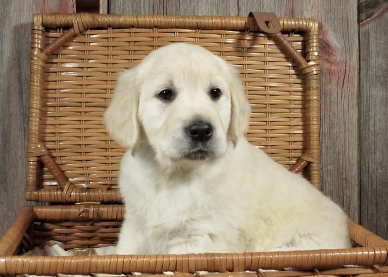 English Cream White Golden Retriever Puppies For Sale