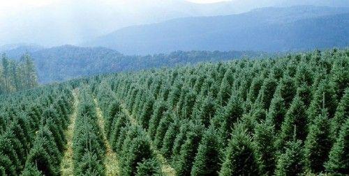 Christmas Tree Farm Nc Photos Pinterest
