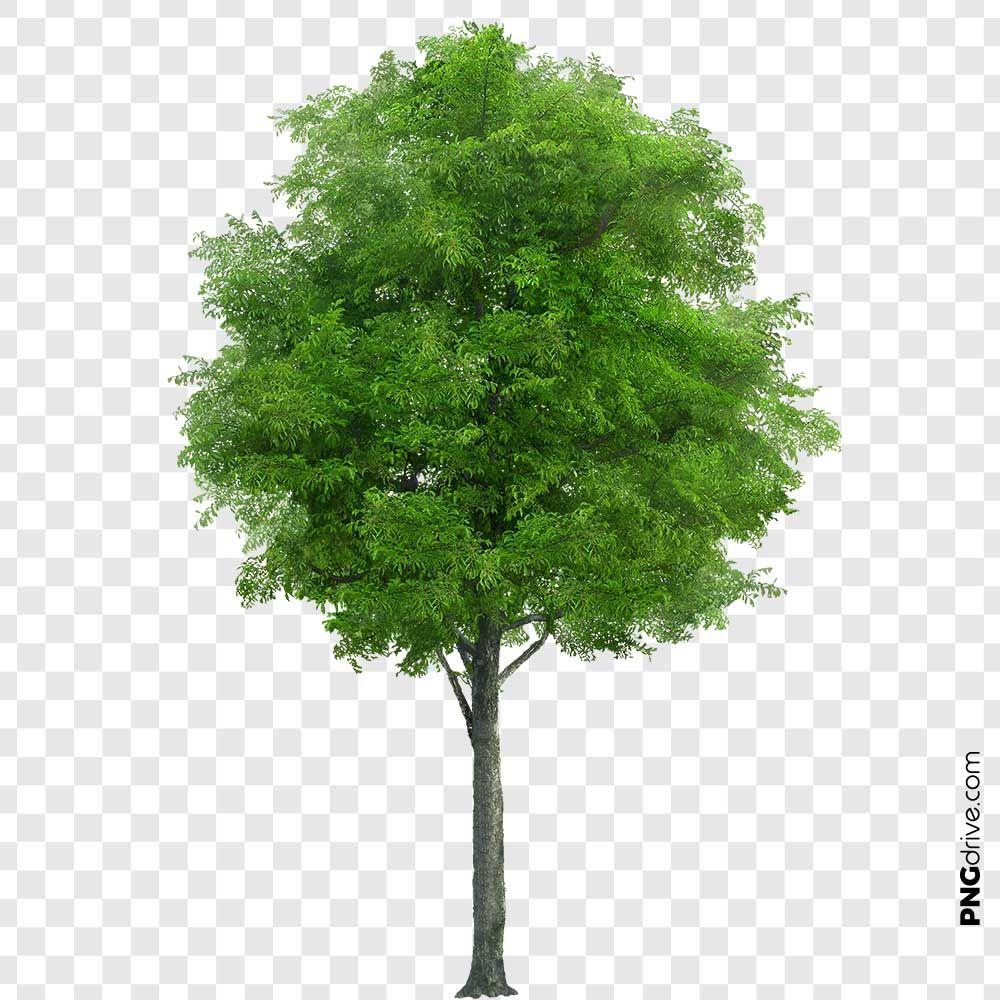 Neem Tree Png Image Tree Photoshop Neem Tree Images