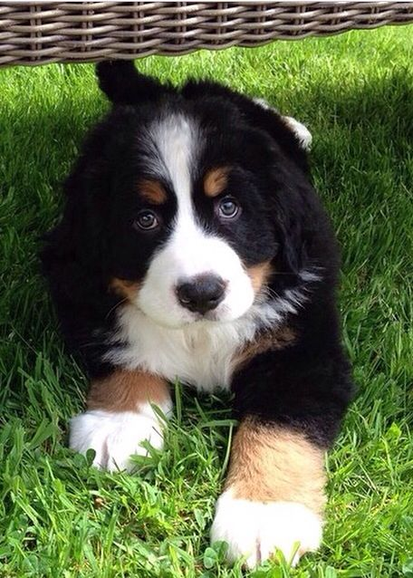 Bernese Mountain Dog Puppy Really Cute Dogs Dogs Beautiful Dogs