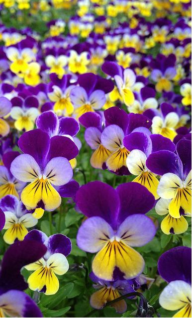~~Viola, Johnny Jump-Up | tricolored in bright purple, yellow and white, delicately fragrant flowers that are cheerful surprises in the cool months  Happy flowers!!!
