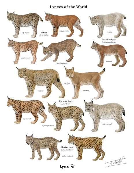 Answer This Quick Survey And Get This Exclusive Framable Print Of The Lynxes Of The World Painted And Signed By Hmw Artist Small Wild Cats Wild Cats Animals