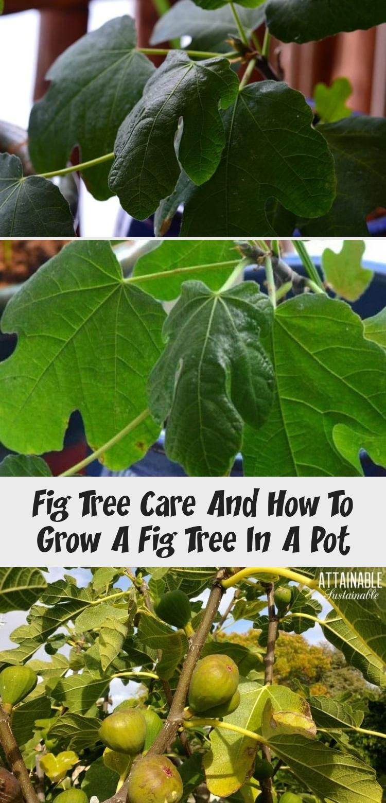 Fig tree care and how to grow a fig tree in a pot in 2020