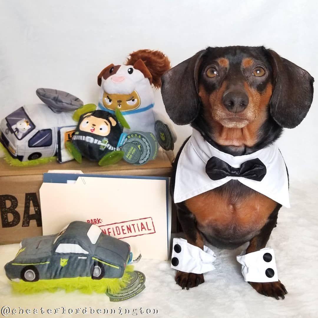 Barkbox For Dachshunds Barkbox Lover Dachshund Dogs Barkbox Dog