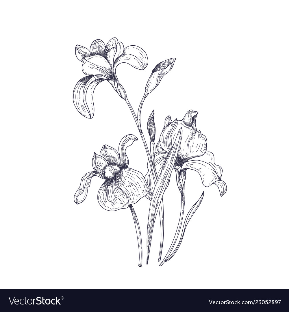 Detailed Drawing Of Spring Iris Flowers And Buds Vector Image On Vectorstock In 2020 Flower Drawing Iris Drawing Iris Flowers