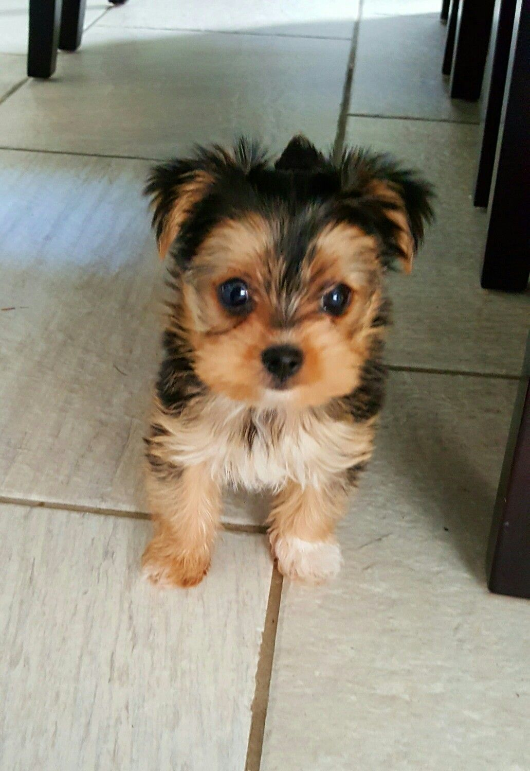 Treat Please Glamour Pups Tiny Teacup Morkie With Images