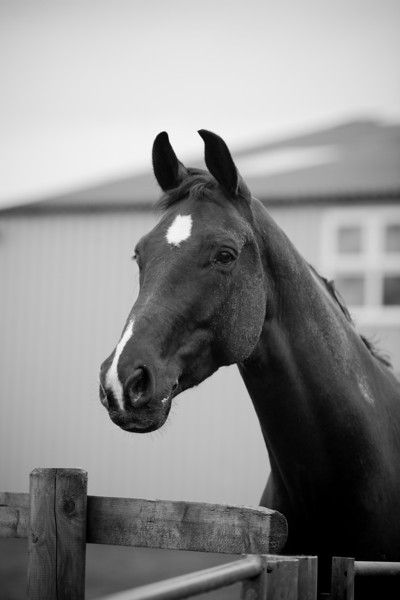 horse with ears pointed forward - Google Search | Horse ...