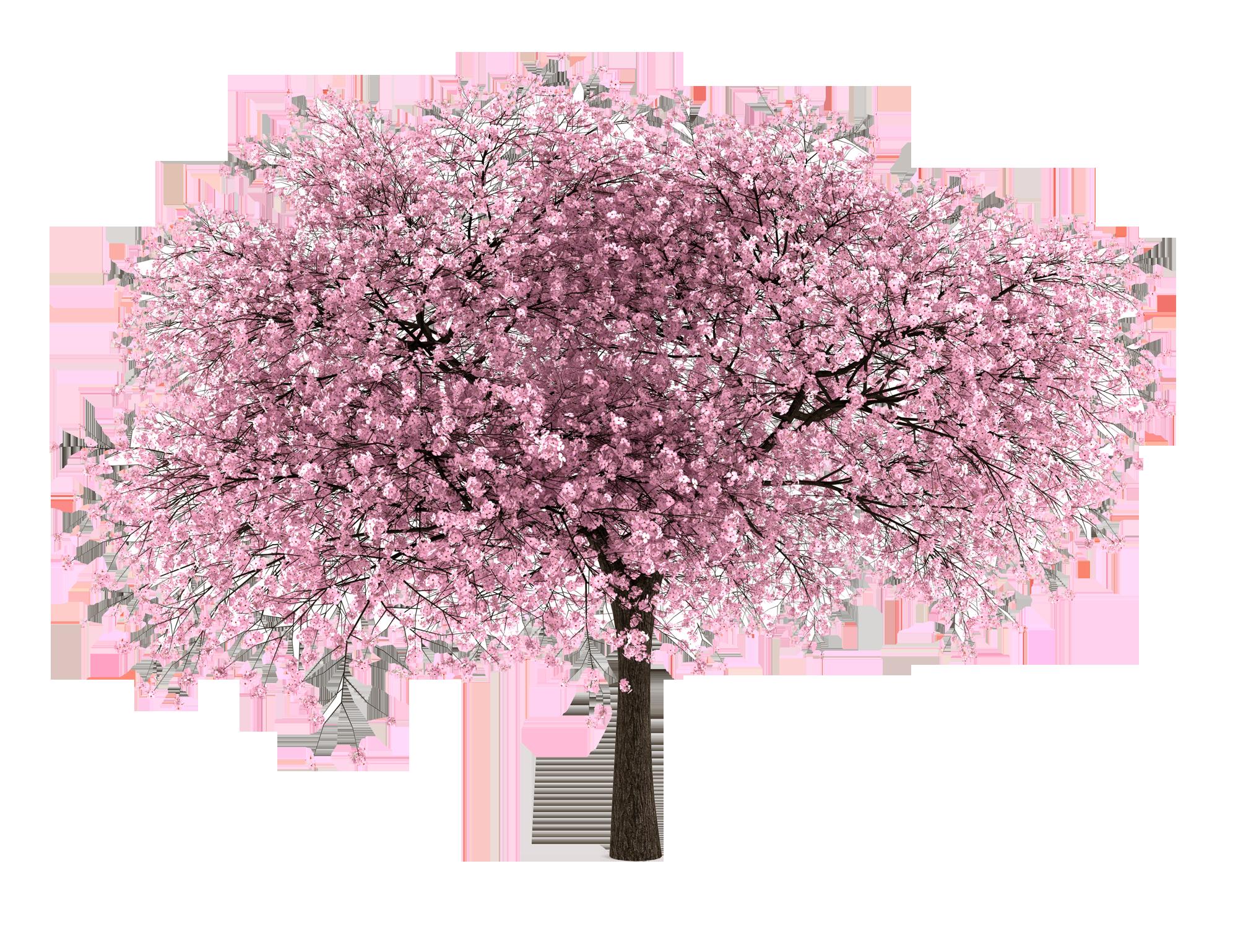 Cherry Blossom Tree Cherry Blossom Tree Tree Photoshop Blossom Trees