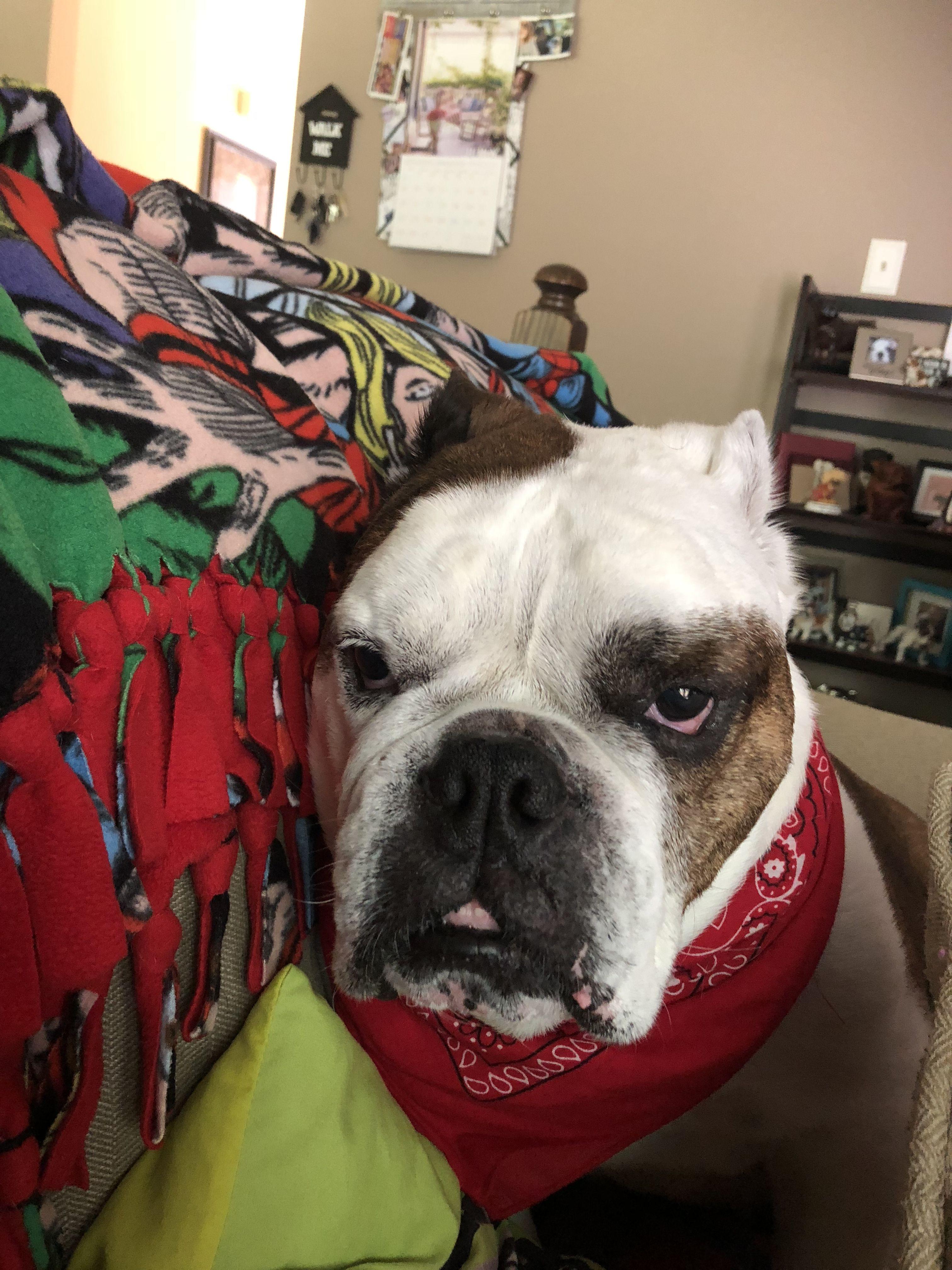 Angry bulldog 😂😂😂   Bulldog, Boston terrier, Terrier