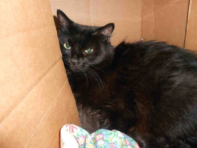 Boo Kitty Sweet Senior Pittsburgh Pa Petharbor Com Animal Shelter Adopt A Pet Dogs Cats Puppies Kittens Humane S Animal Shelter Cat Adoption Animals