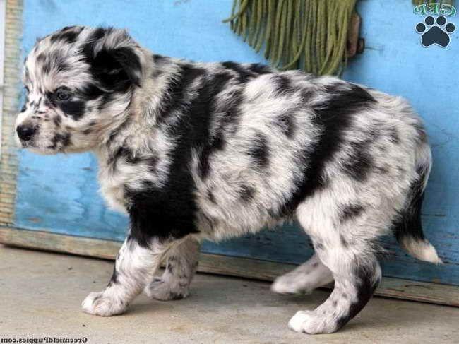 Australian Shepherd Husky Mix Puppies