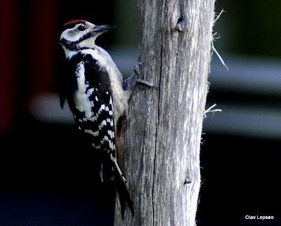 Woodpecker, by Olav Lepsøe, Norway.