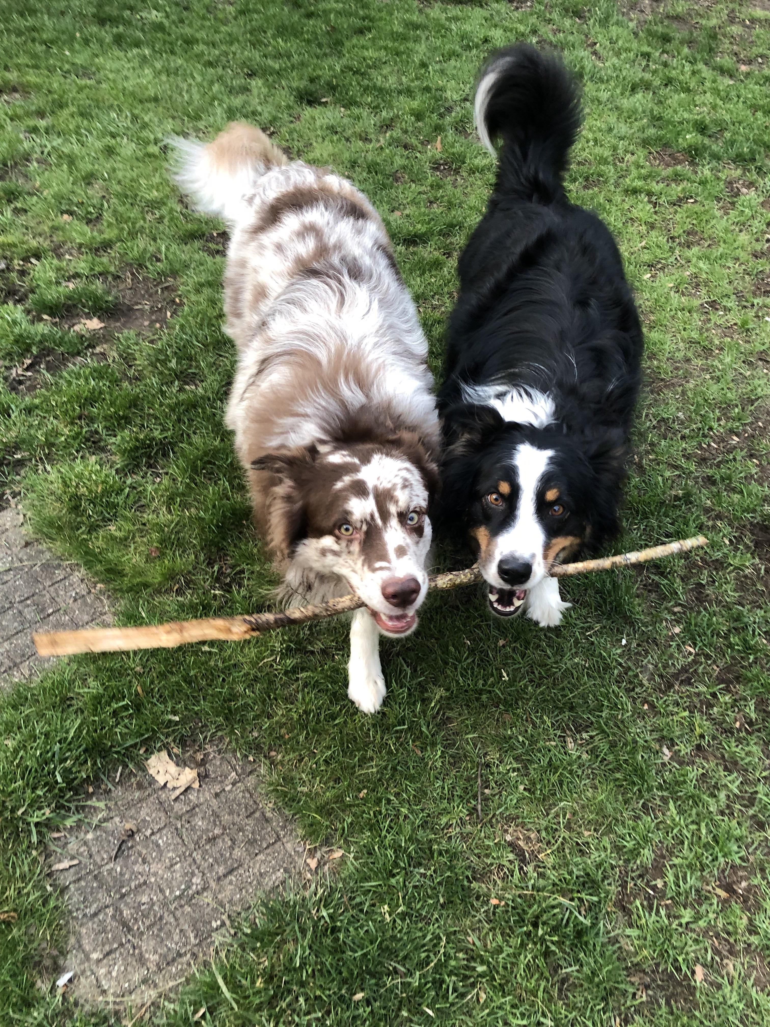 41+ Australian Shepherd Mix Breed Reviews Aussie puppies