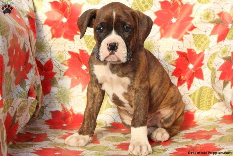 Jasper Boxer Puppy For Sale in Pennsylvania Boxer