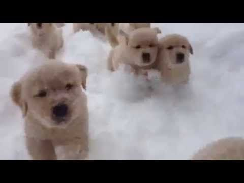 When Golden Retriever Puppies Attack With Cuteness Retriever