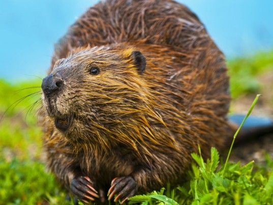 Colorado State Study Shows Beavers Build Natural Carbon Storage Shelters | Inhabitat - Sustainable Design Innovation, Eco Architecture, Green Building