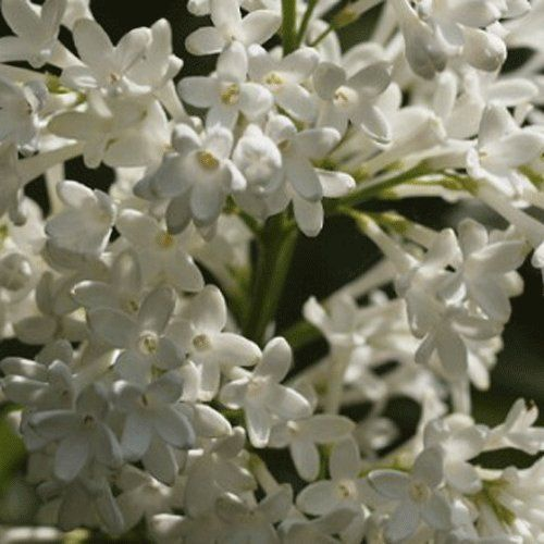 bbfcdb0bdfdcd Syringa  Agnes Smith  19cm Pot Size   Find out more at the image link