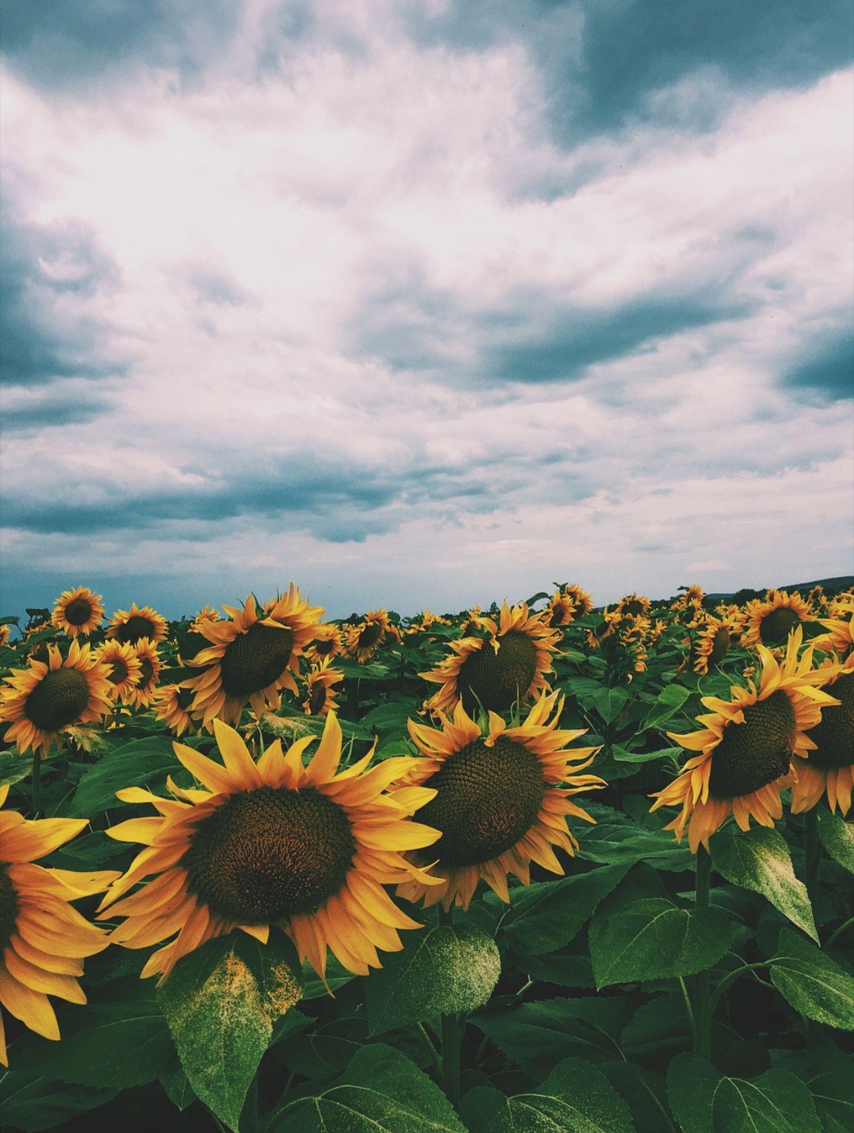 Sunflowers At Summer Summer Storm Sunflower Sun