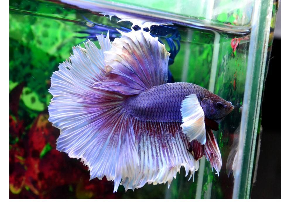 Betta splendens salamander big ear dumbo bettas crowntail for Big betta fish