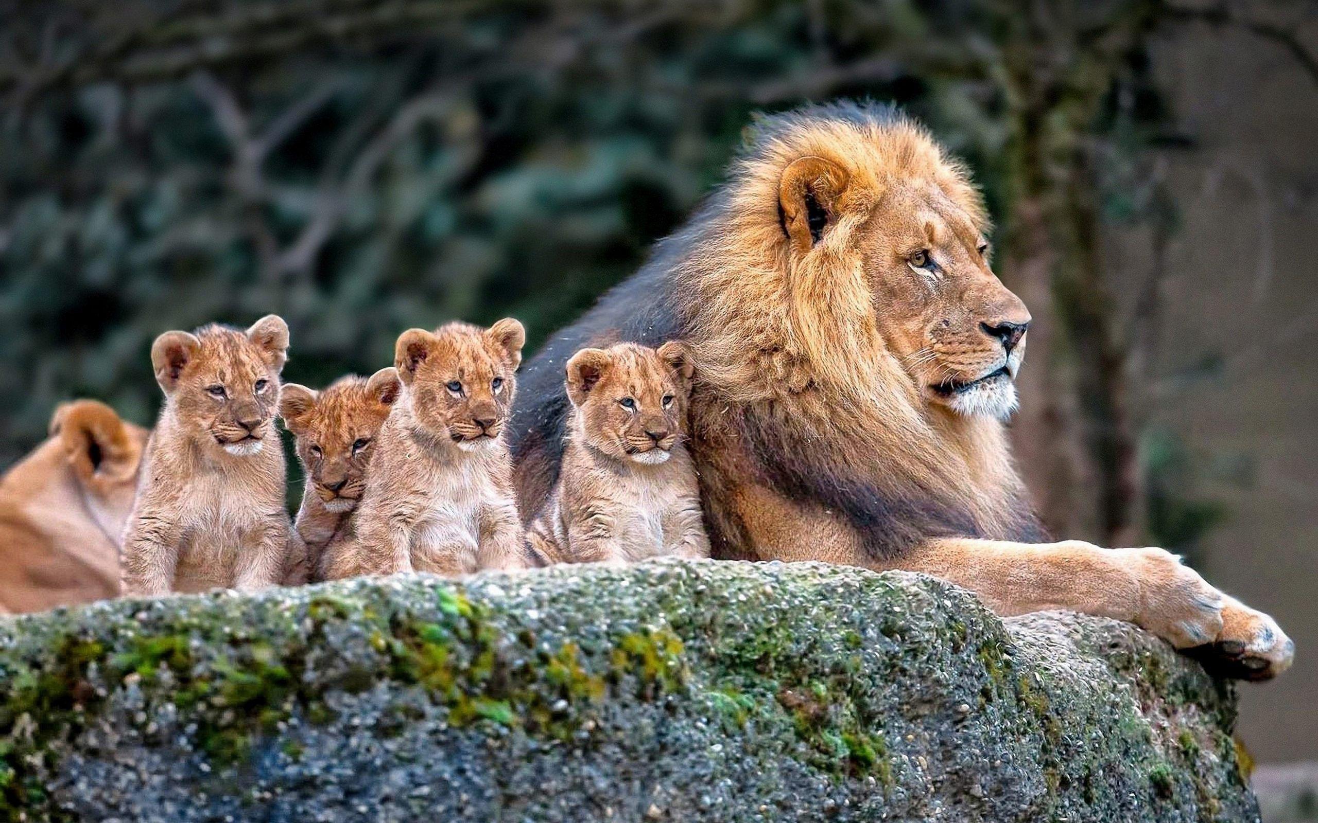 ライオンの親子1