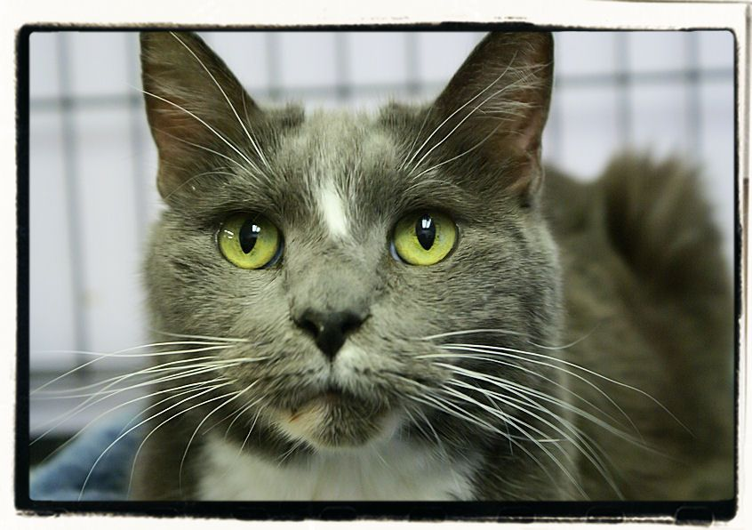 Puma - DSH - Gray and White - Gentle senior who loves people so much, he begins making biscuits as soon as volunteers talk to him.