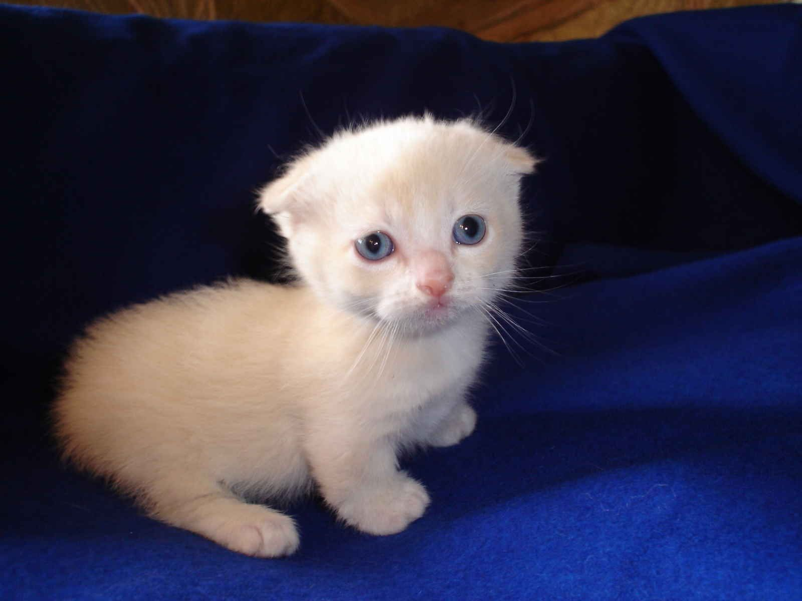 Rare Adorable Napoleon Scottish Fold Munchkin Kittens