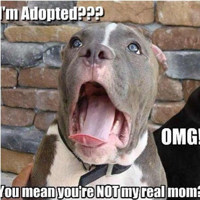 8a2d1e4789cb46ea5a8cca998626aff0 www mypitbullshop com puppy pup pitbull pitbulls cute