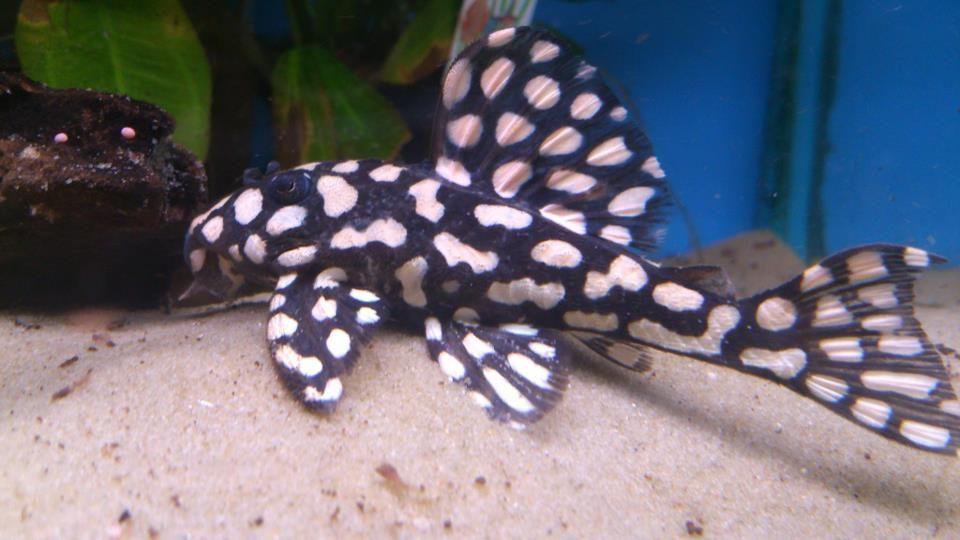 Hypancistrus L201 Aquarium Fish Tropical Fish Aquarium Freshwater Fish