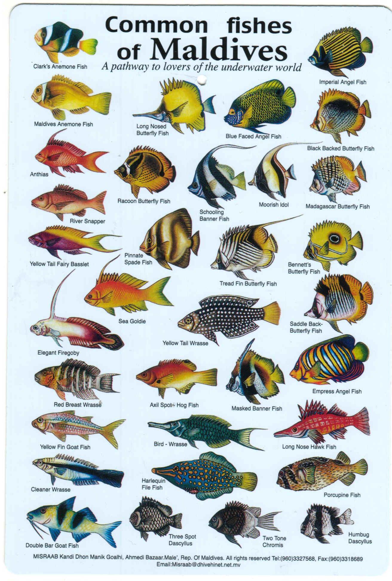 Fishes of the maldives identification chart water for Florida saltwater fish identification