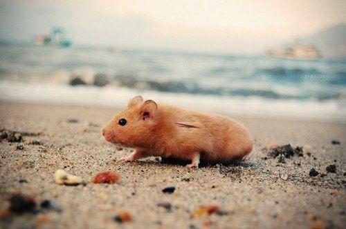 Beach hamster