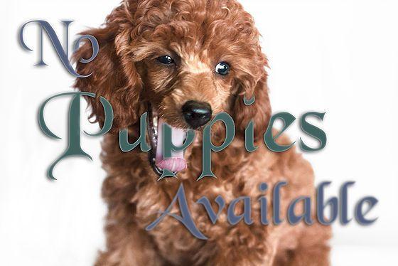 Miniature Poodle Puppies for sale | Tucson, AZ | AVAILABLE