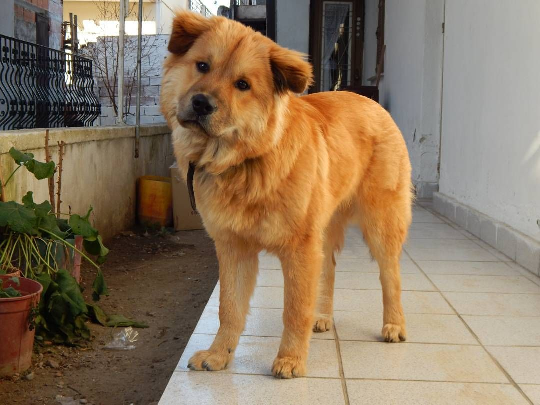 23+ Chow Chow And Lab Mix in 2020 (With images) Dog