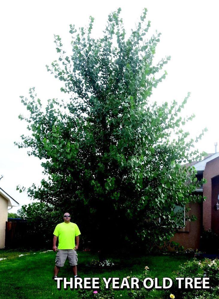 10 hybrid poplar trees trees and poplar tree