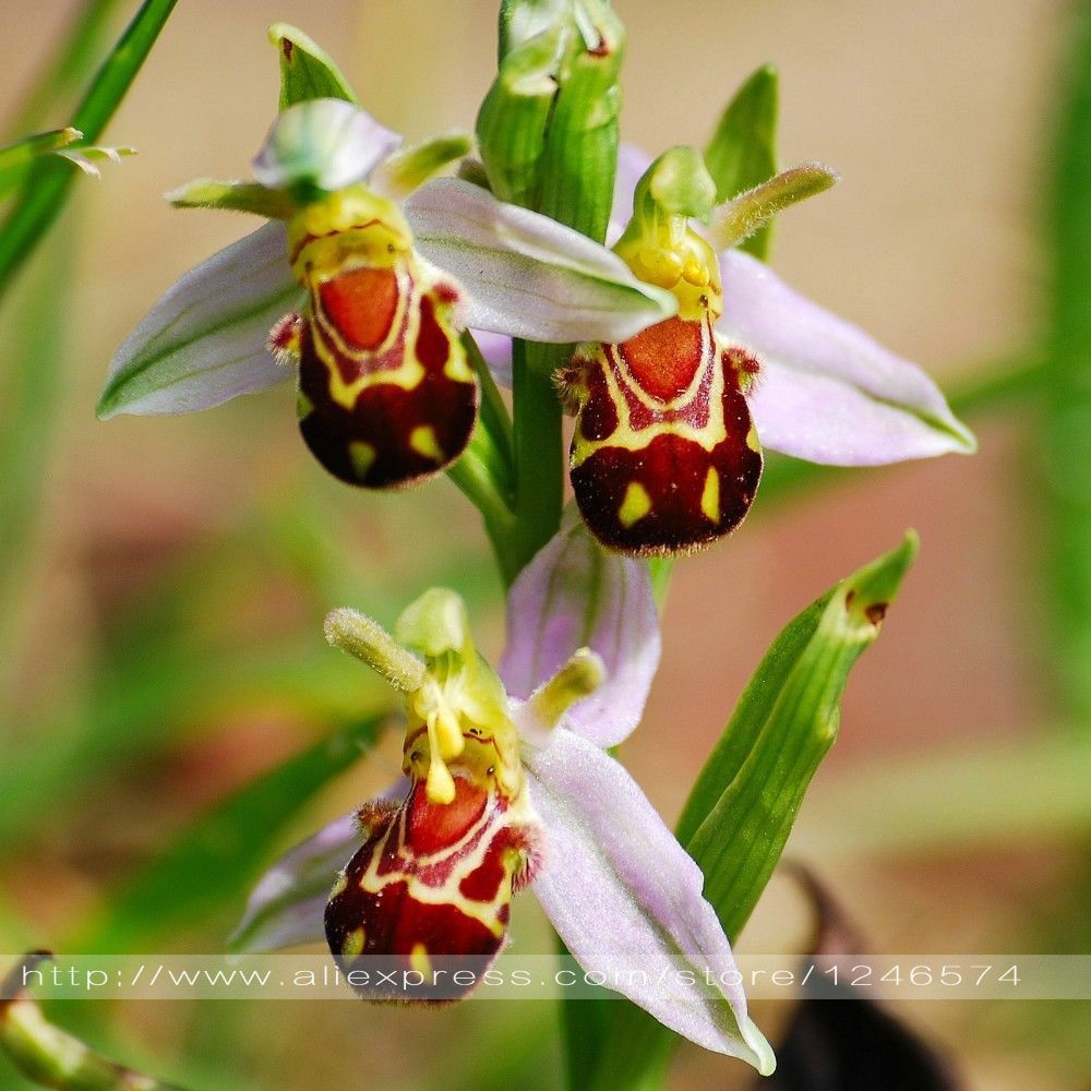 pas cher livraison gratuite 100 graines chine rare fleurs bee orchid flower seed sourire visage. Black Bedroom Furniture Sets. Home Design Ideas