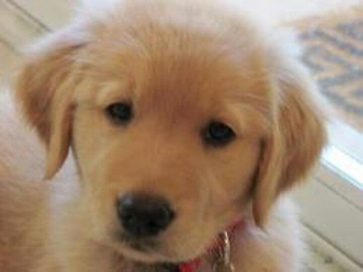 Our Someday Pup Mix Of A Golden And Lab Lab Mix Puppies Cute