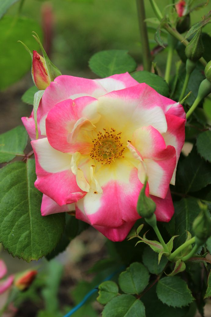 Campfire Rose