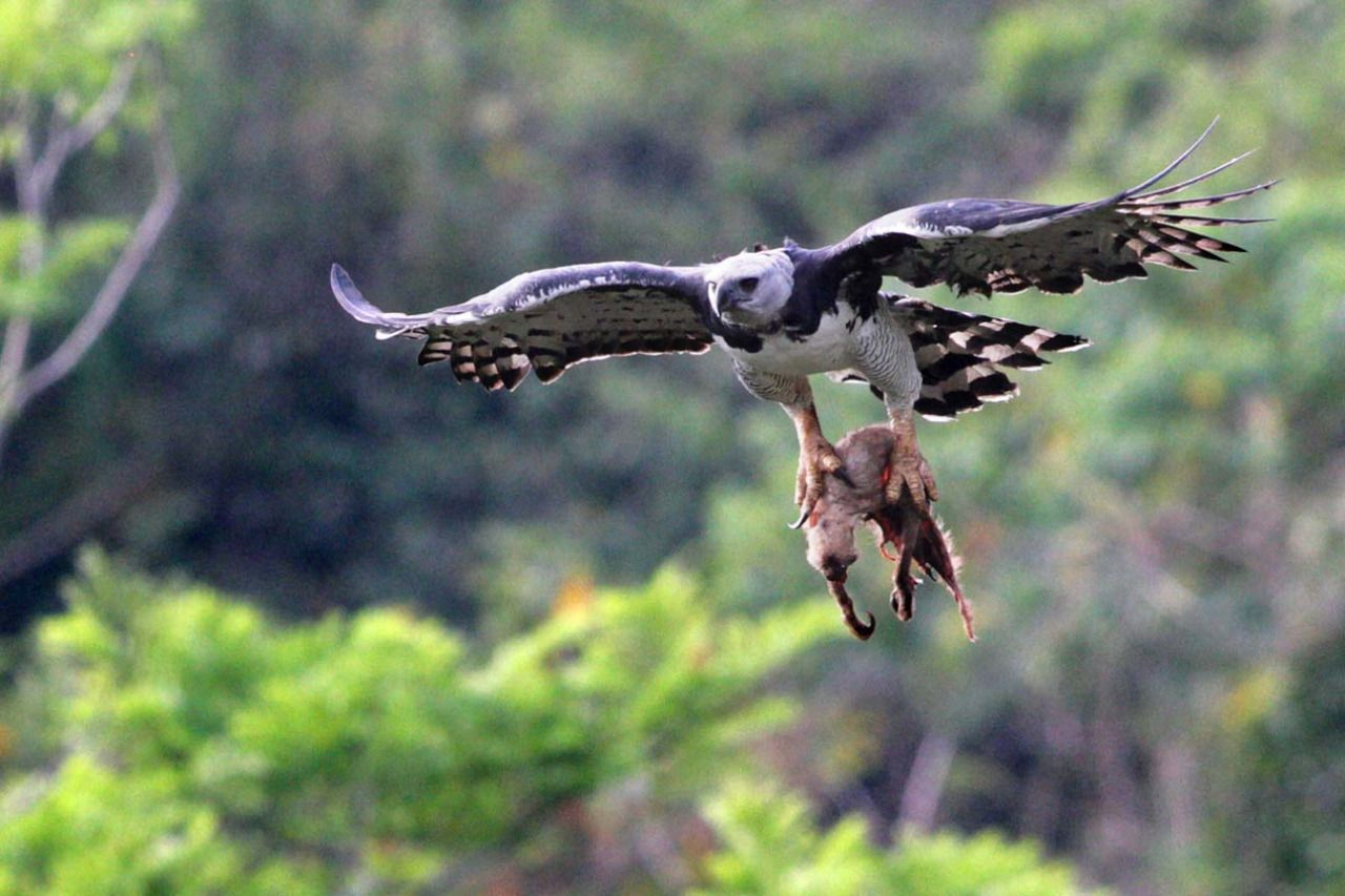 Harpy Eagle vs Sloth | National Geographic | Pinterest ...