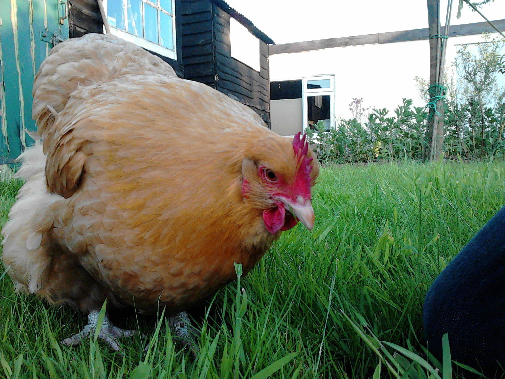 Buff Orpington | Raising backyard chickens, Chicken breeds ...
