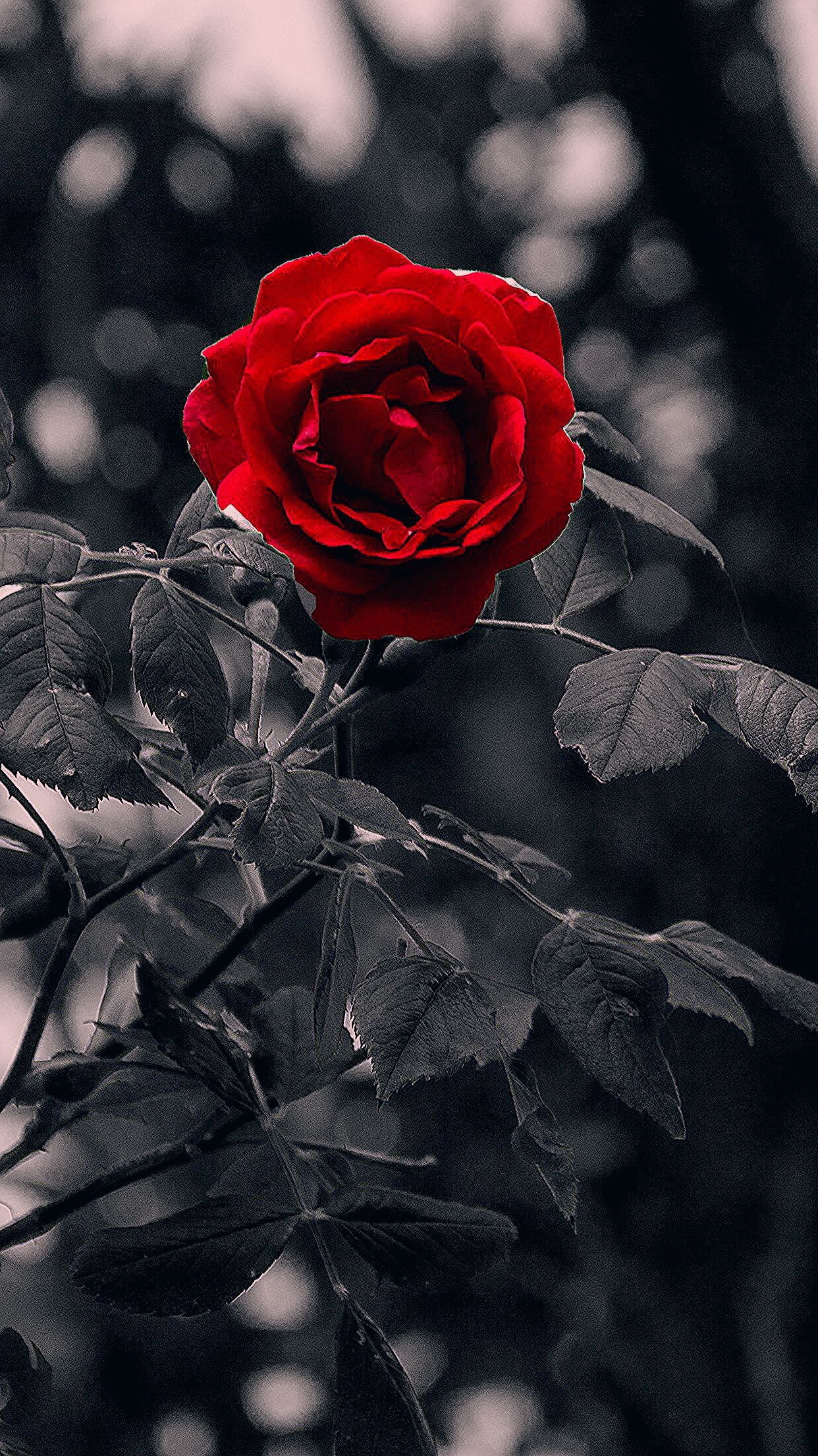 For U Wafa Red Roses Wallpaper Flower Background Wallpaper Rose Pictures