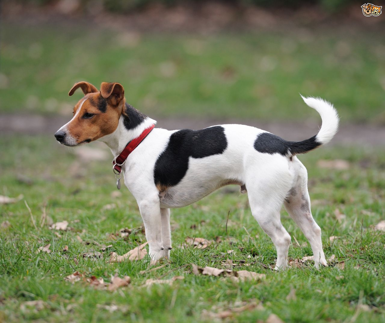 Jack Russell Jack Russell Dogs Aggressive Dog Breeds Terrier