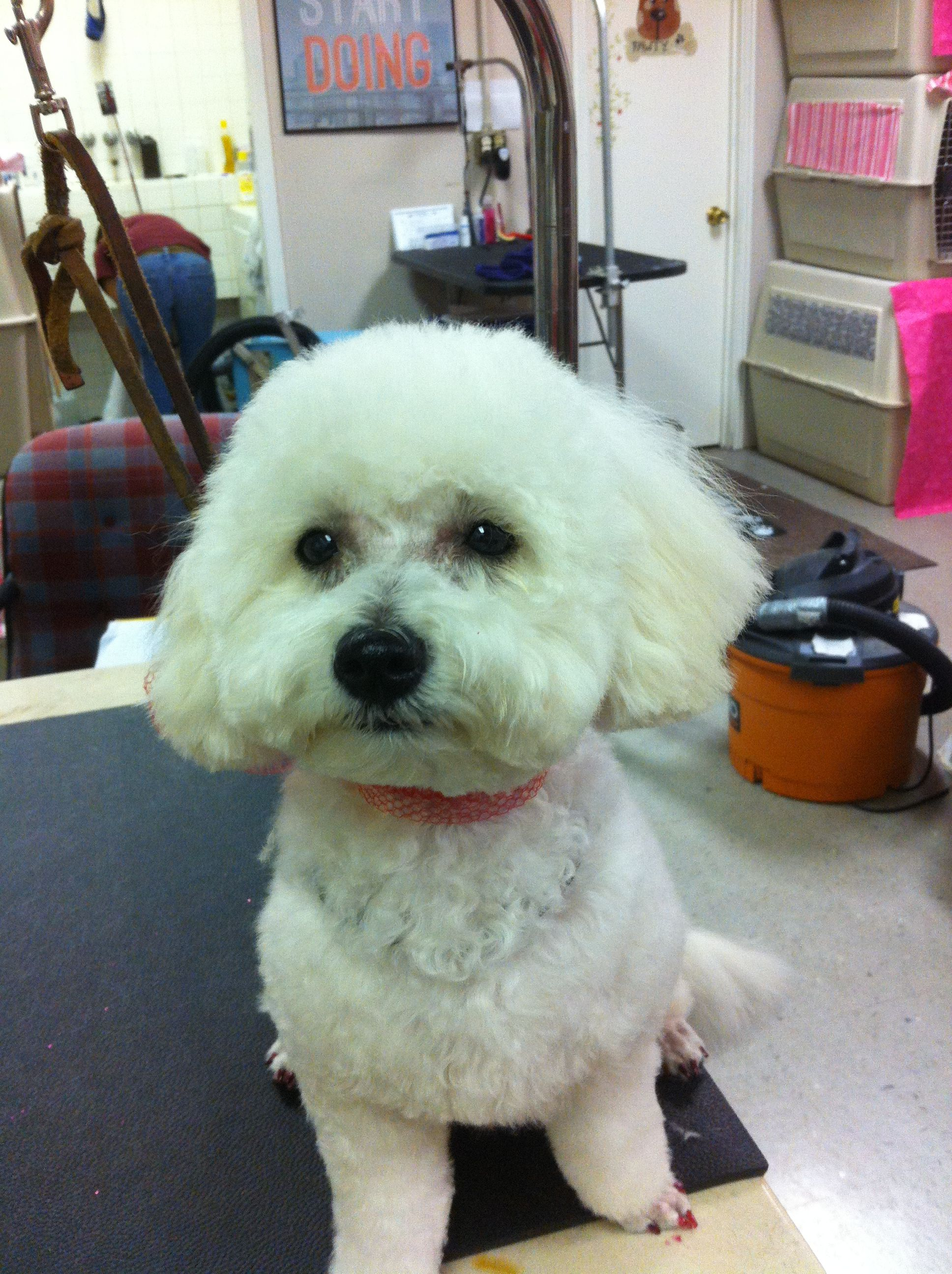 Greta We Love You At Friend And Companion Bichon Frise Dogs Dog Memorial Pet Grooming
