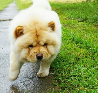 Toby The Chow Chow Tobypuff Dogs Cute Dogs Animals