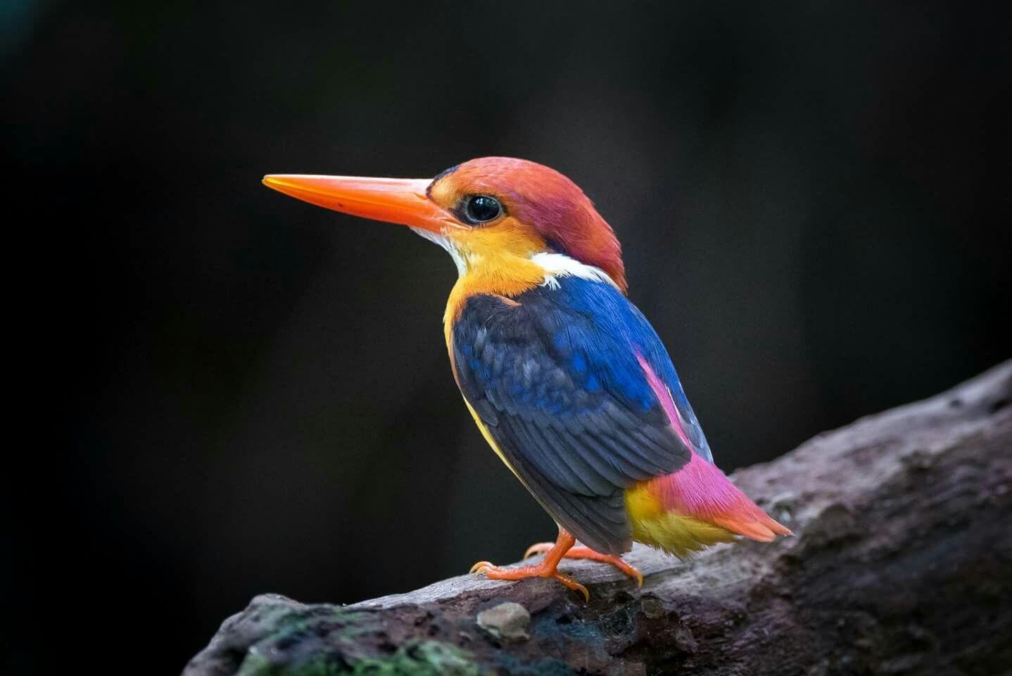 Blackbacked Kingfisher Kingfisher, Animals, Kaeng