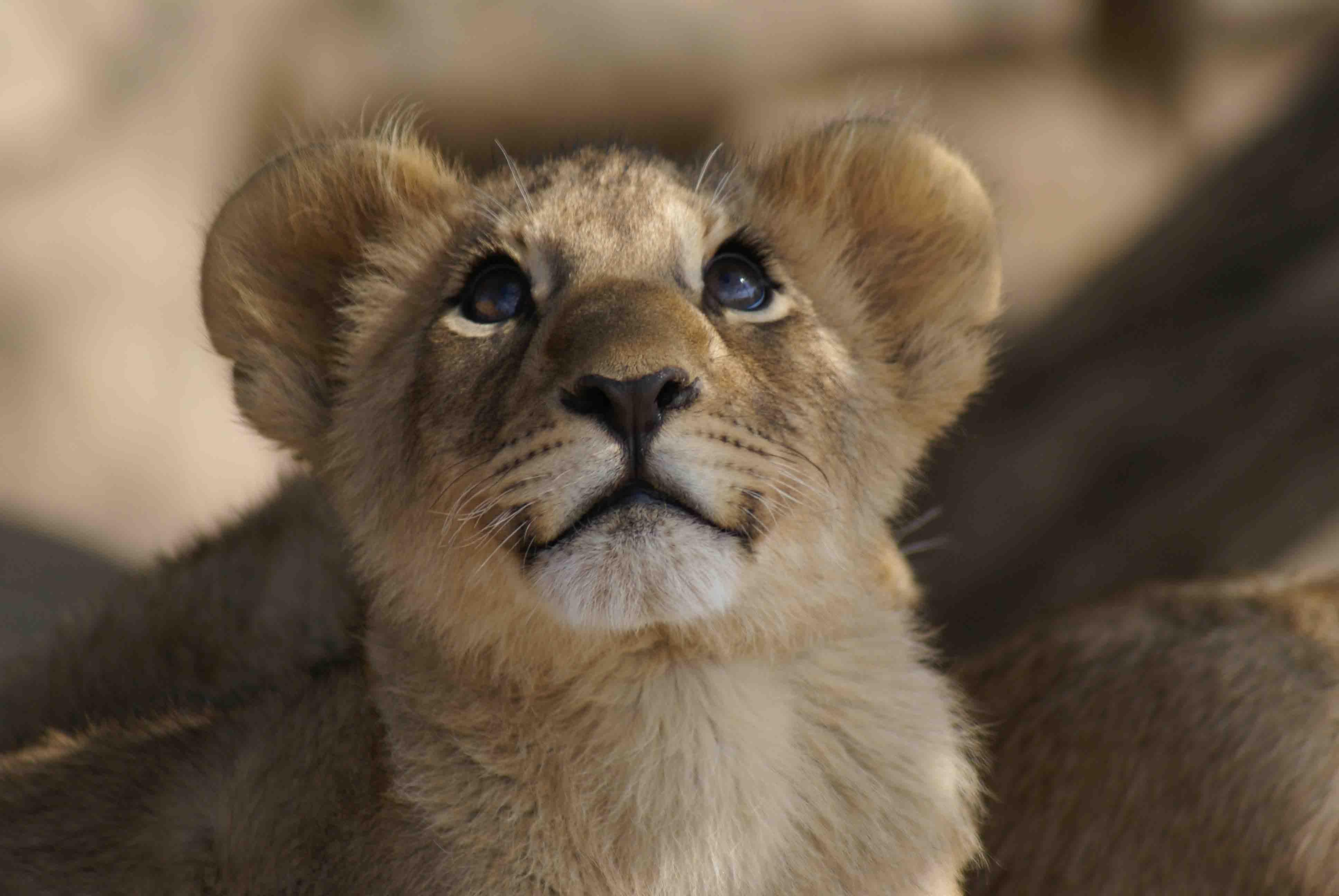 Simba? Lion cub, Botswana