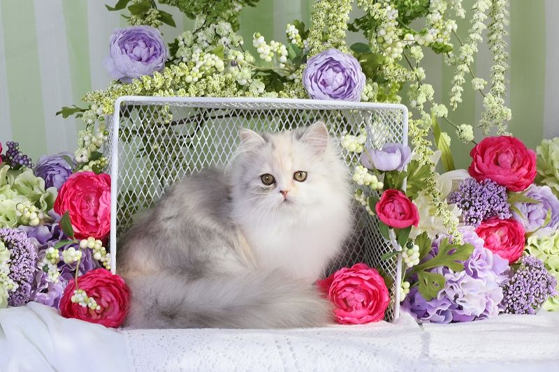 Calico Persian Kittens Persian kittens, Persian kittens